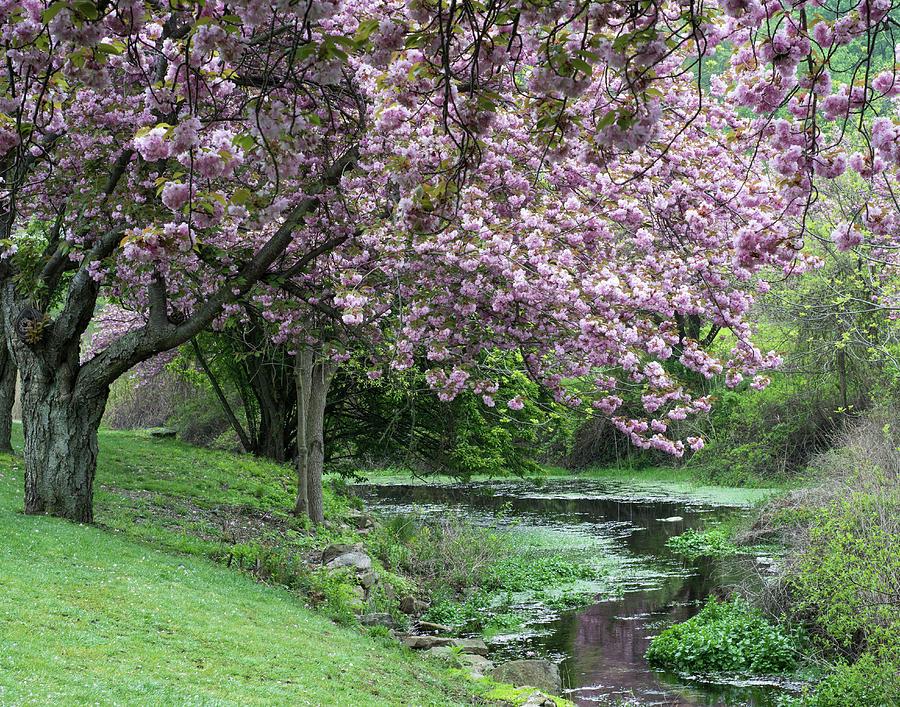 Cherry Blossom Scene by Eleanor Bortnick