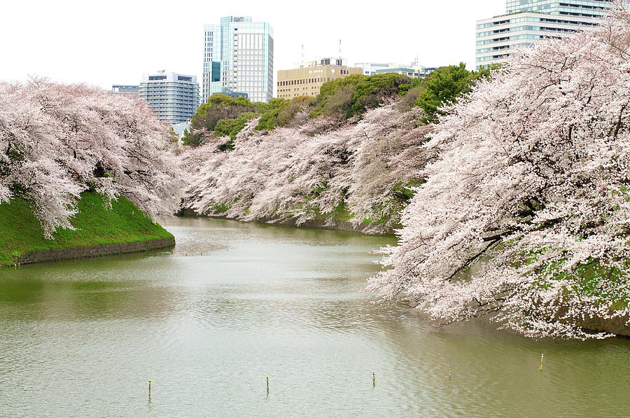 Cherry Blossom Sightseeing Along River Photograph by Japan From My Eye