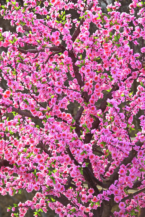 Cherry Blossom Tree In Jingshan Park Photograph by Richard Ianson