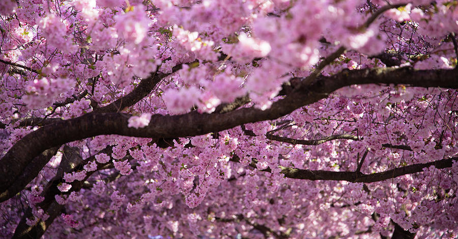 Cherry Photograph - Cherry Blossom Tree Panorama by Nicklas Gustafsson