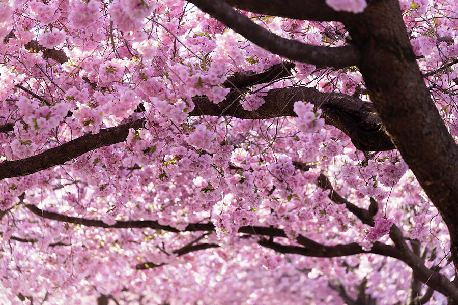 Cherry Photograph - Cherry Blossom Trees by Nicklas Gustafsson