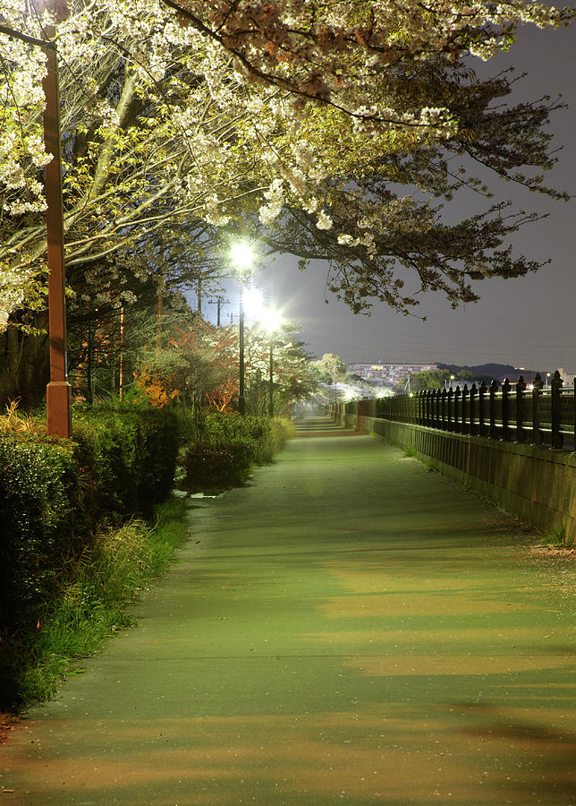 Cherry Blossom Walkway At Night Photograph by Tayacho