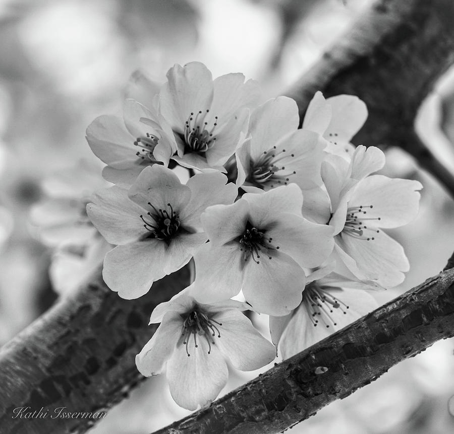 Cherry Blossoms Photograph - Cherry Blossoms 2019 E by Kathi Isserman