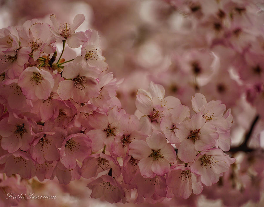 Cherry Blossoms 2019A by Kathi Isserman