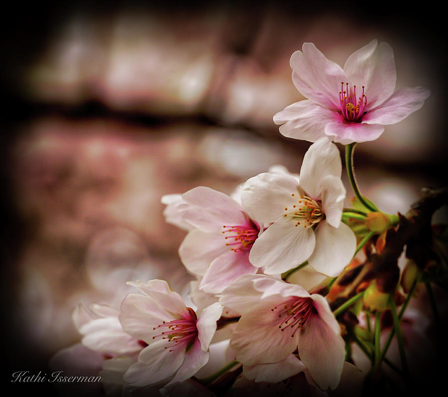 Cherry Blossoms 2019F by Kathi Isserman