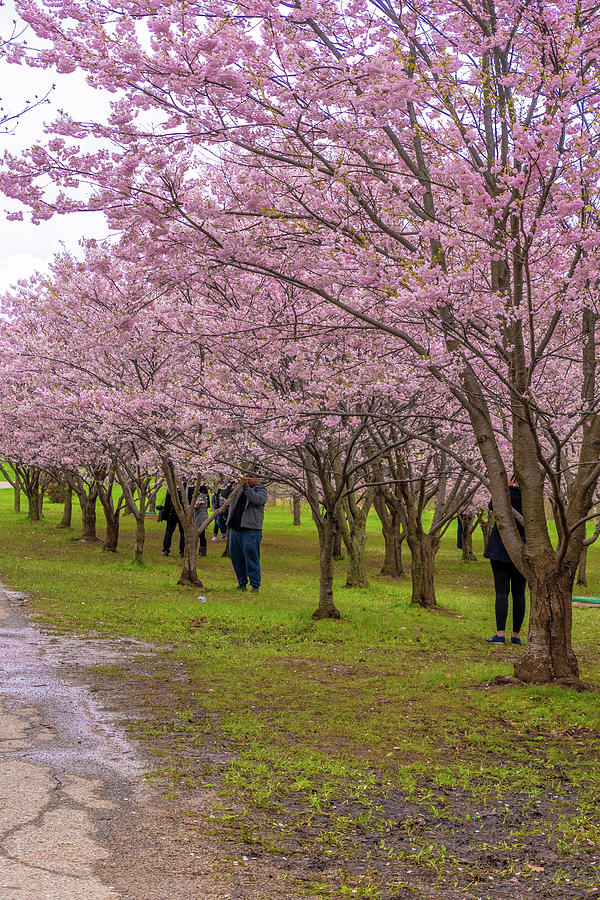 Cherry Blossoms 3 Photograph