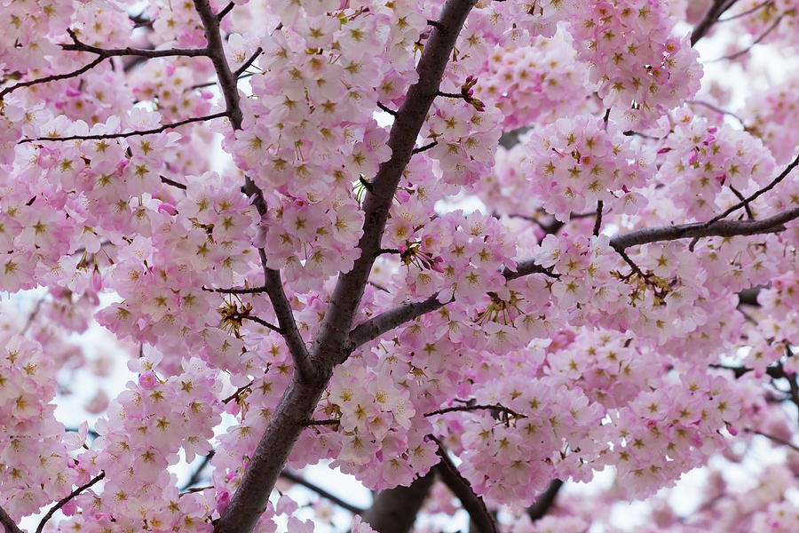 Cherry Blossoms 8611 by Mark Shoolery