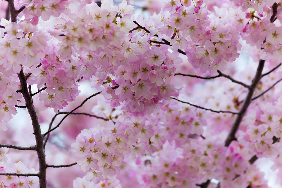 Cherry Blossoms 8625 by Mark Shoolery