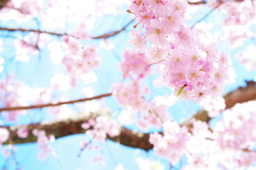 Cherry Blossoms At Garden, Kyoto Photograph by Marser