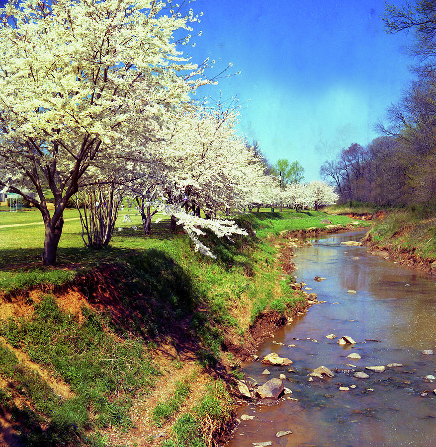 Cherry Blossoms Bt Creek Photograph by Photographybyjw