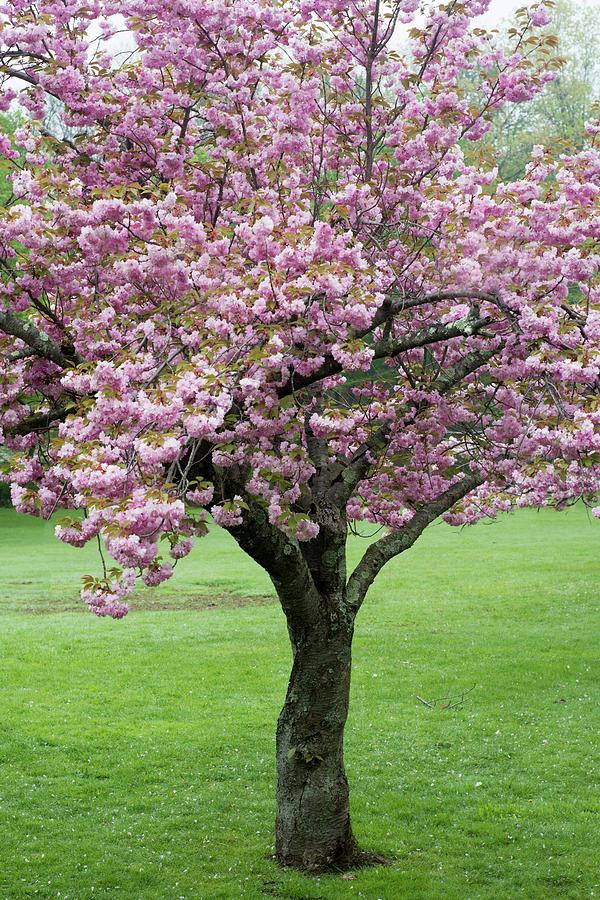 Cherry Blossoms by Eleanor Bortnick
