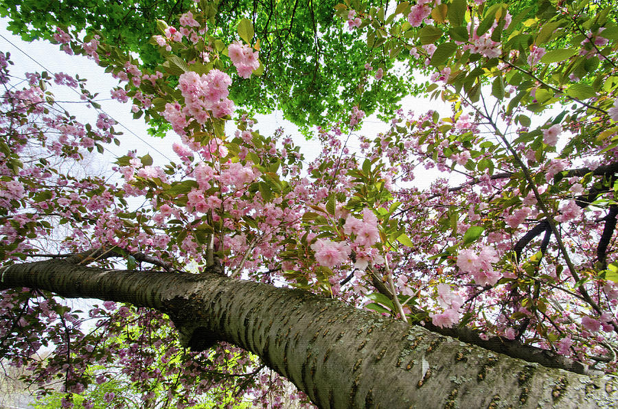 Cherry Blossoms Flowers by Crystal Wightman