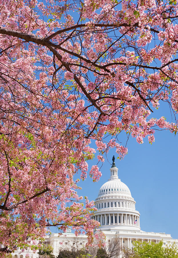 Cherry Blossoms In Front Of Capitol Photograph by Tetra Images