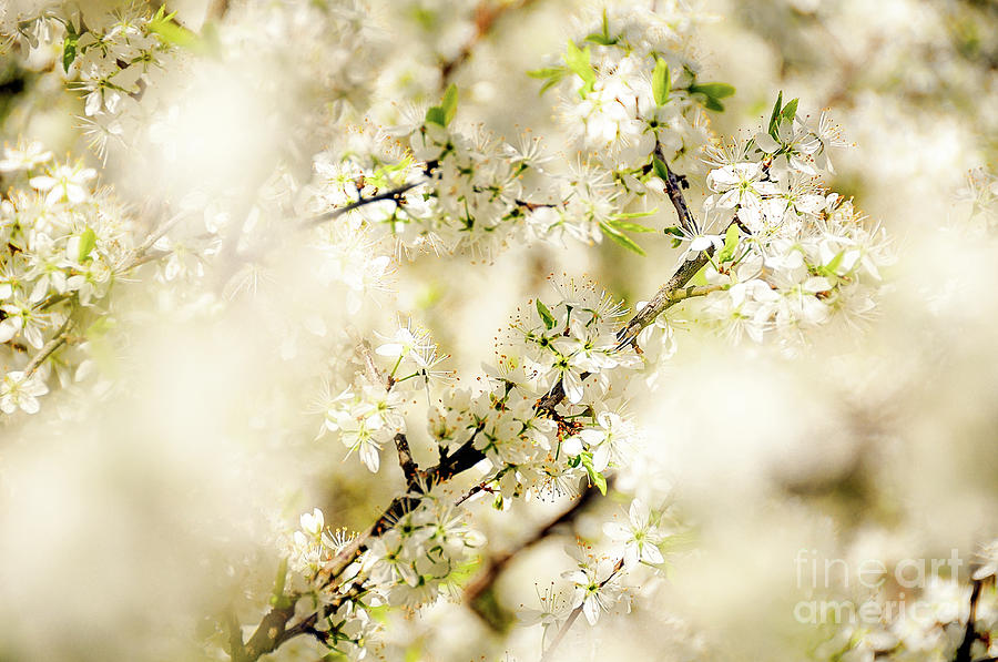 White Blossoms in spring, swinging in the wind by Ulrich Wende