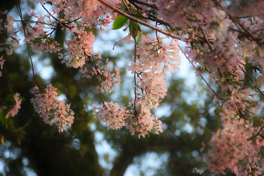 Cherry Blossoms by Linda James