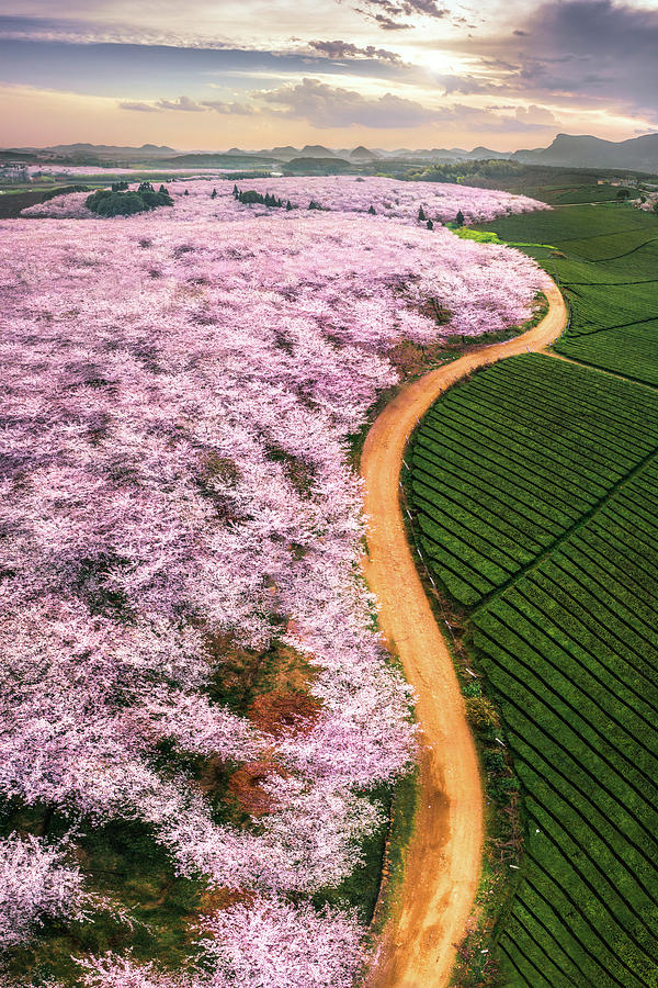 Landscape Photograph - Cherry Blossoms by ??tianqi
