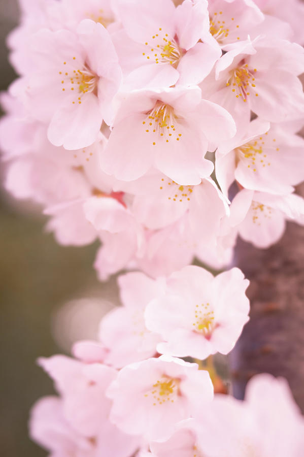 Cherry Blossoms by Todd Henson
