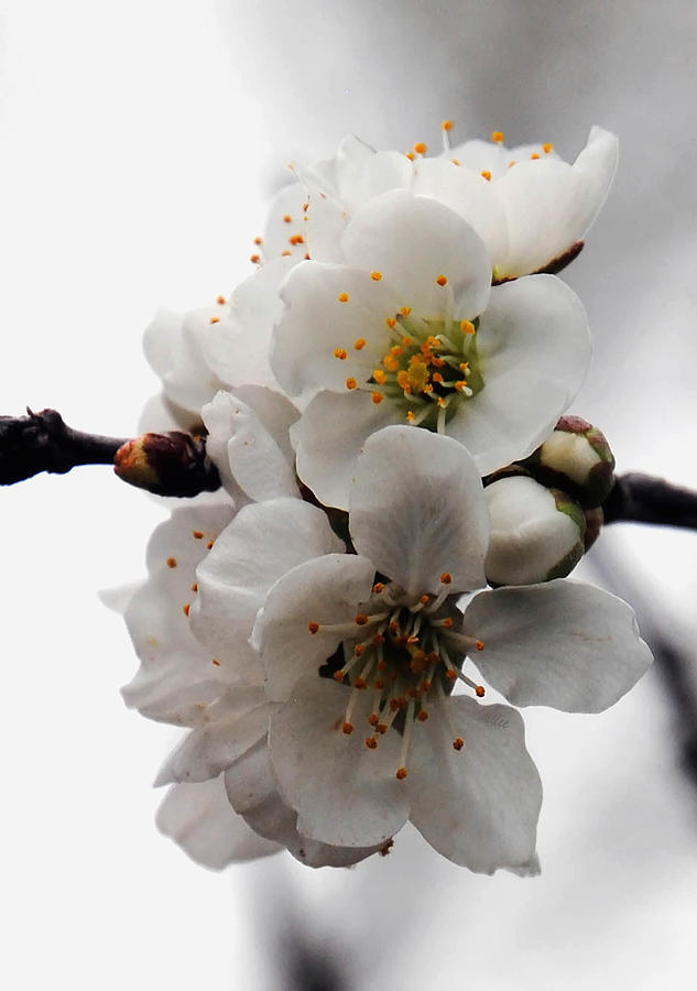 Flowers Photograph - Cherry Blossoms by Vallee Johnson
