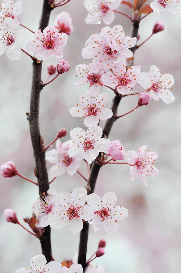 Cherry Plum Purple Plum Pink Flowers On Photograph by Martin Ruegner