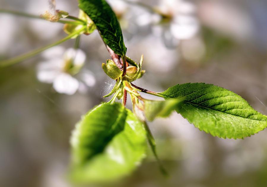Cherry Tree... by Aleksandrs Drozdovs