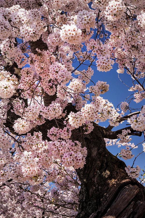 Cherry Tree by Don Johnson