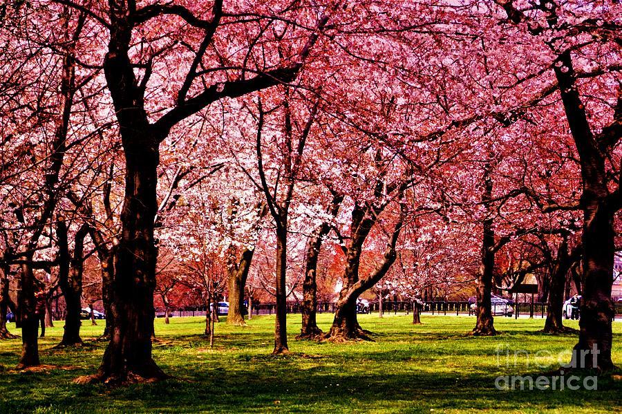 Cherry Blossom Festival Photograph - Cherry Tree Grove by Patti Whitten
