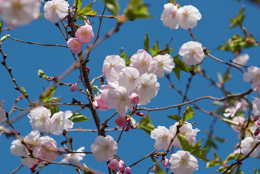 Cherry Tree In Bloom Photograph by Jcarroll-images