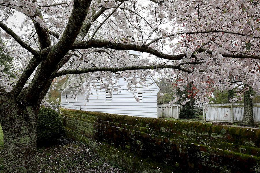 Cherry Tree in Yorktown by Rachel Morrison