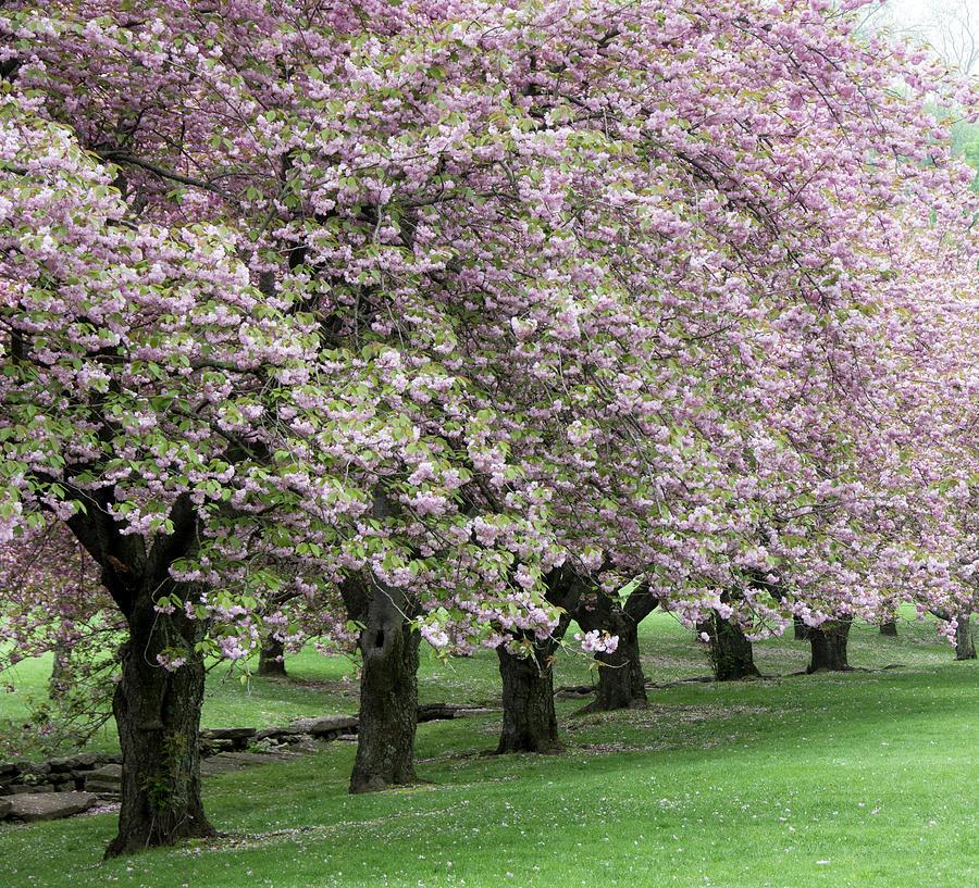 Cherry Trees by Eleanor Bortnick