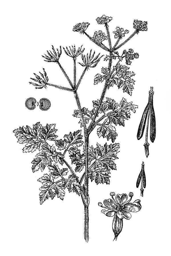 Chervil Anthriscus Cerefolium Digital Art by Nastasic