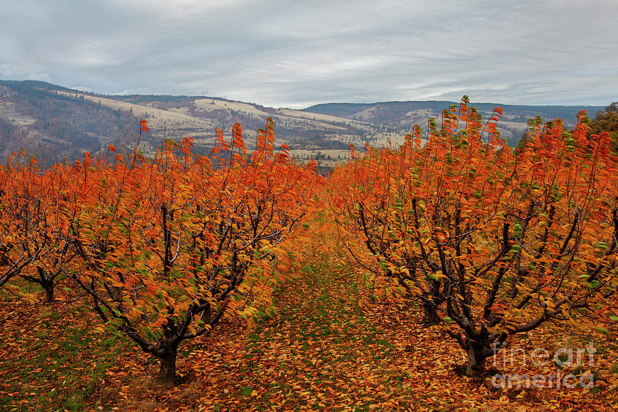Cherry Orchard Autumn Photograph by Mike Dawson