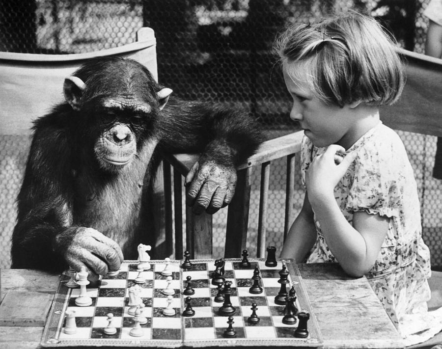 Chess Chimp Photograph by William Vanderson
