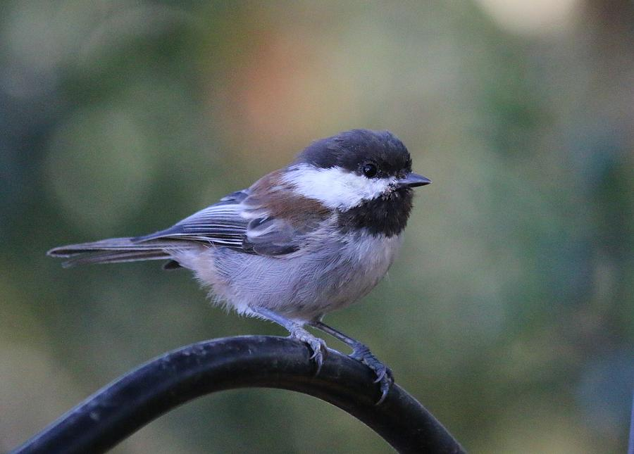 Chestnut-Backed Chickadee 2 by Christy Pooschke