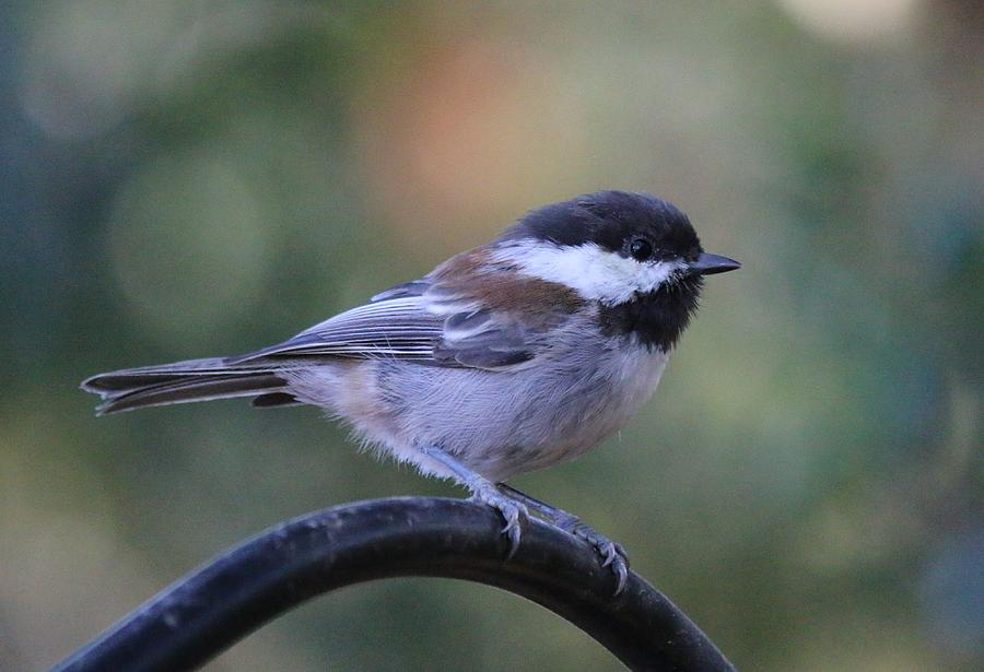 Chestnut-Backed Chickadee by Christy Pooschke