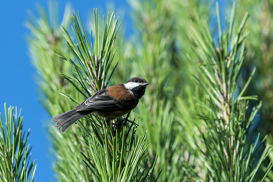 Chestnut-backed Chickadee by Robert Potts
