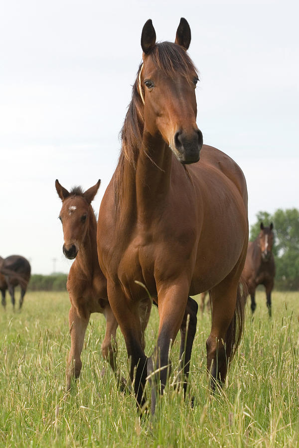 Chestnut Thoroughbred Mare And Foal Photograph by Lesliejmorris