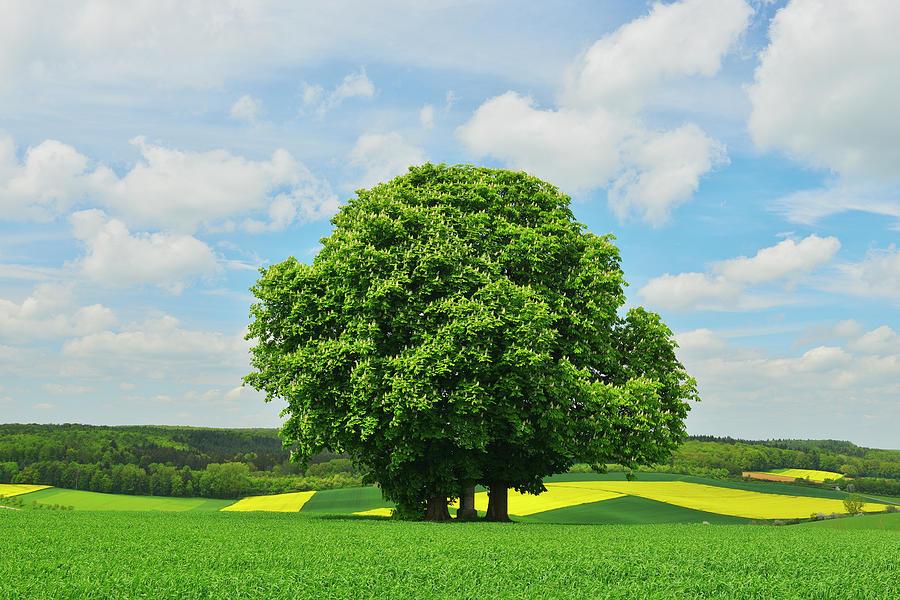 Chestnut Tree Photograph by Raimund Linke