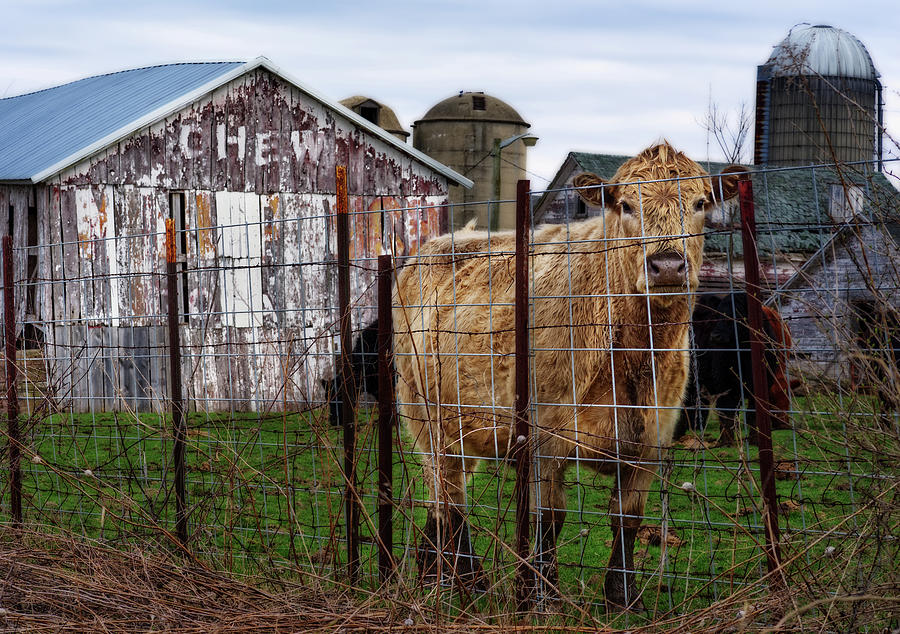 Chew... Cud -  Wisconsin barn with Chew Tobacco advertisement and cow plus silos by Peter Herman
