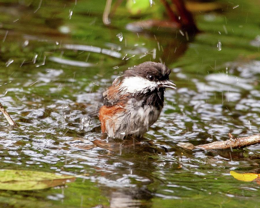 Chickadee Bird Bath by Lara Ellis