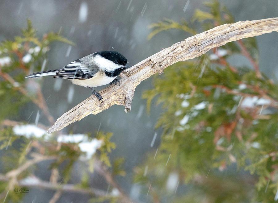 Chickadee in Snow by Judi Dressler