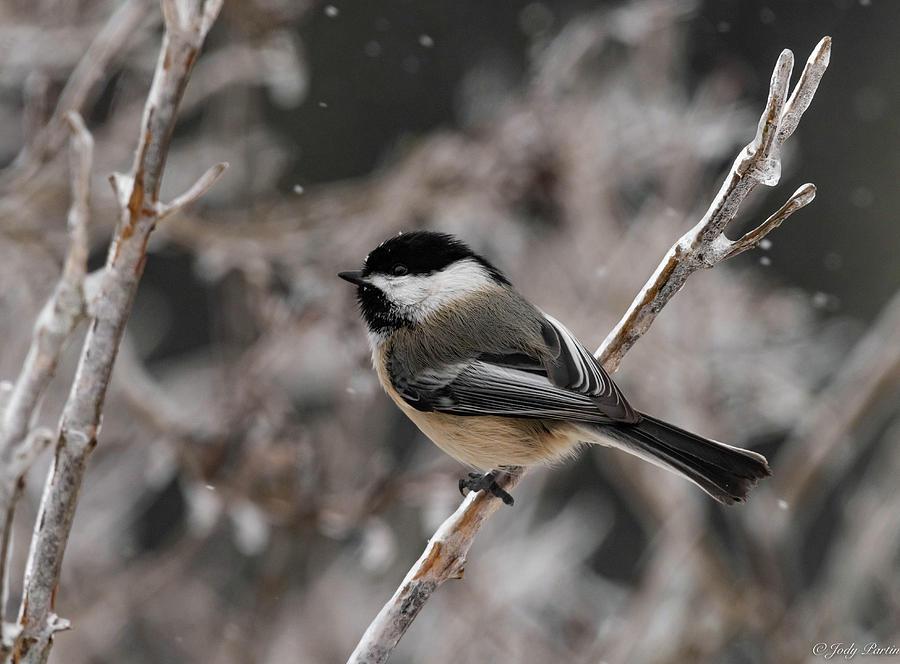 Chickadee in Winter by Jody Partin