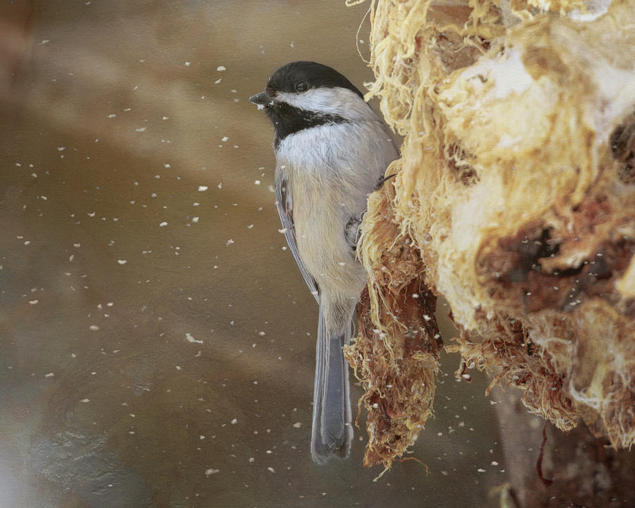 Chickadee in Winter by Susan Rissi Tregoning