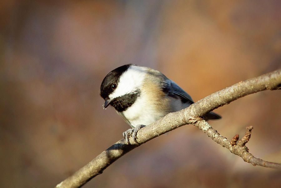 Chickadee by Sue Collura