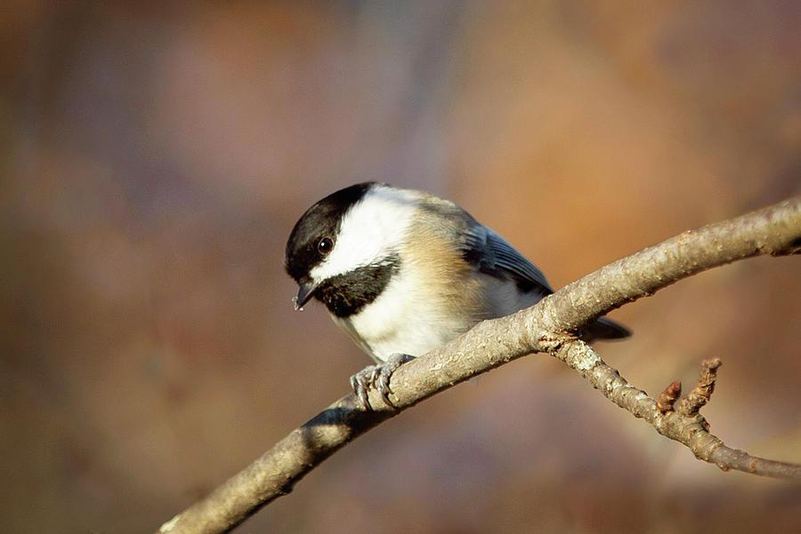 Chickadee by Sue Collura