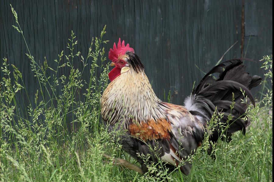 Chicken by Buddy Scott