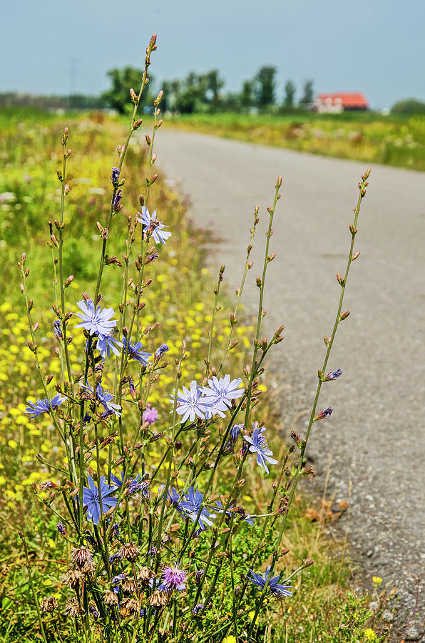 Chicory along a country road by Frans Blok