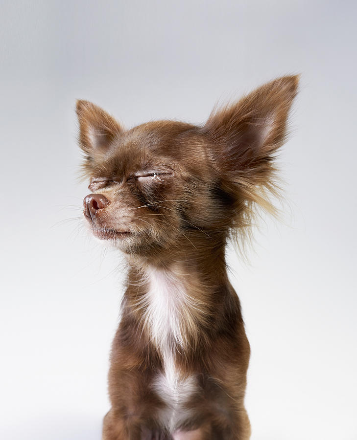 Chihuahua Crying Photograph by Stilllifephotographer