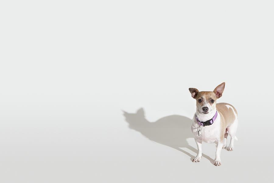 Chihuahua Photograph by Josh Ross