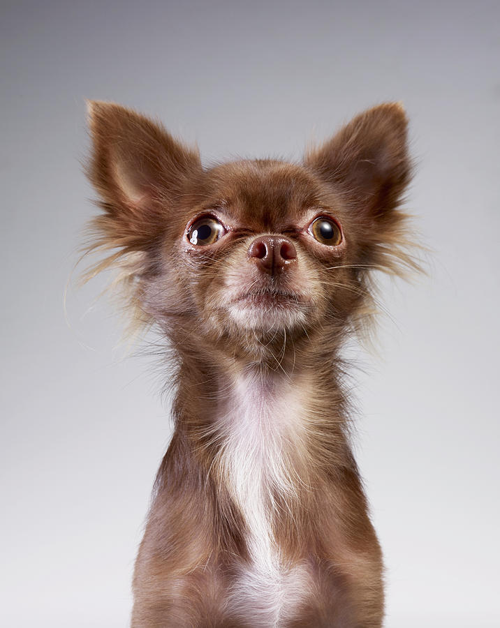 Chihuahua Looking Up Photograph by Stilllifephotographer