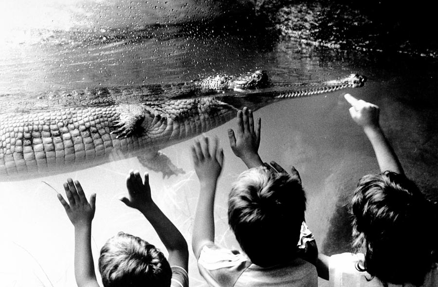 Children Reach Towards The Gharial Photograph by New York Daily News Archive